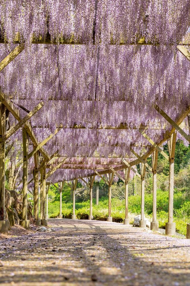 静岡伊豆のリニューアルオープンした修善寺虹の郷の藤棚が絶景。