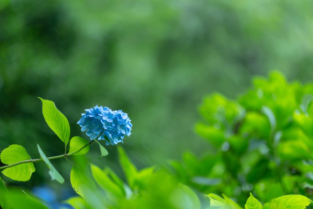 紫陽花の名所 鎌倉・明月院は混雑時間帯を避ければアクセスも楽で、おススメ!