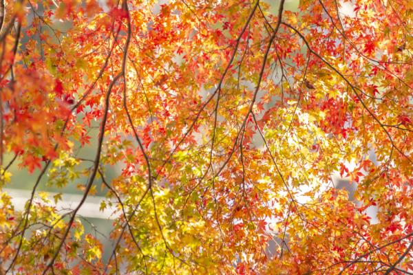 西日を受けて輝く高尾山の紅葉は美しい。